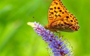 насекомое, цветок, бабочка, крылья