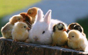 кролик, животное, друзья, пень, птенцы, цыплята