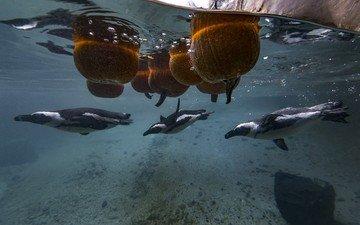 птицы, под водой, пингвин, пингвины, тыквы
