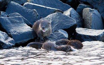 water, nature, stones, kalan, otter, otters, alistair buchanan