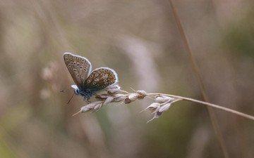 насекомое, бабочка, крылья, стебель, колосок, травинка