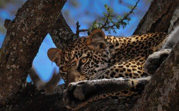 eyes, tree, muzzle, look, leopard, big cat