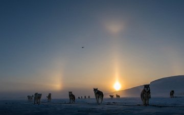 the sun, snow, winter, fog, canada, dogs, alaskan malamute, clare kines