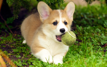 grass, dog, puppy, language, the ball, welsh corgi, pembroke