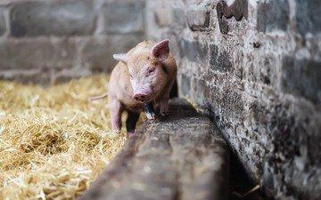 сено, ферма, свинья, поросенок