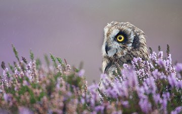 flowers, owl, lavender, bird, plant, closeup, bird of prey