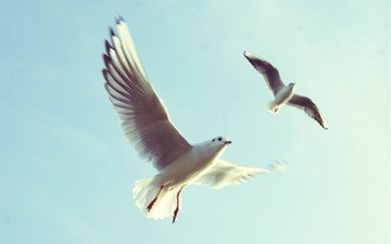 the sky, flight, wings, seagull, birds, beak, seagulls, sea birds
