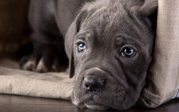 eyes, look, dog, puppy, cane corso