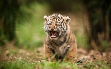 tiger, nature, wild cat, cub
