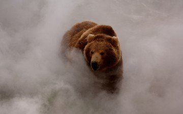 face, fog, look, bear, brown bear