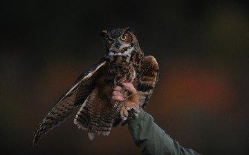 сова, рука, человек, птица, клюв, крыло, хищная птица