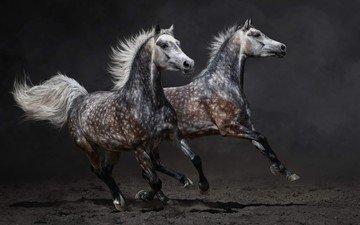 животные, пара, лошади, кони, пыль, бег