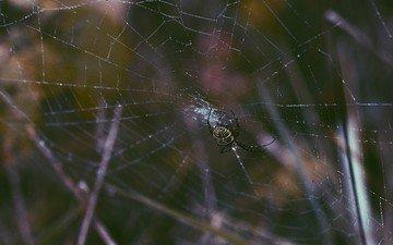 роса, паук, паутина, крупным планом, членистоногие
