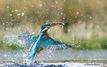 вода, брызги, птица, рыбка, зимородок
