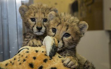 eyes, muzzle, look, zoo, cheetahs, cubs