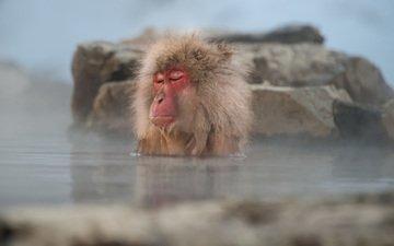 вода, обезьяна, примат, макака, закрытые глаза, японский макак
