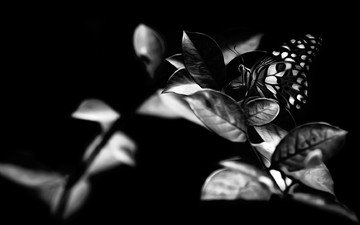 leaves, insect, butterfly, black and white, wings