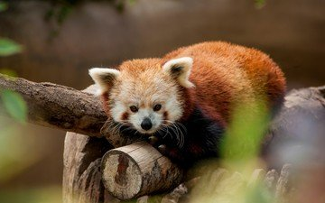 tree, background, mustache, look, animal, wildlife, red panda