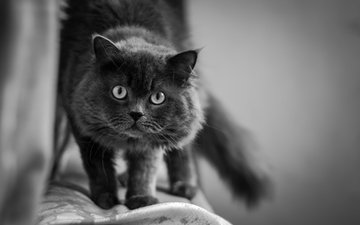 cat, muzzle, mustache, look, black and white
