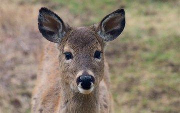 морда, олень, взгляд, уши