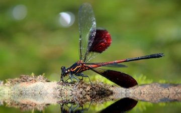 insect, wings, dragonfly