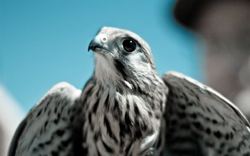 небо, хищник, птица, клюв, сокол