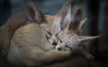 природа, животные, сон, фенек, ушки, уют, лисички, лисы