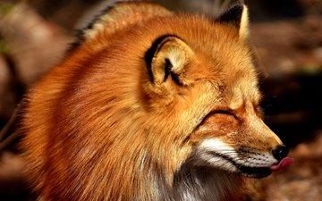 морда, рыжая, лиса, хищник, лисица, язык