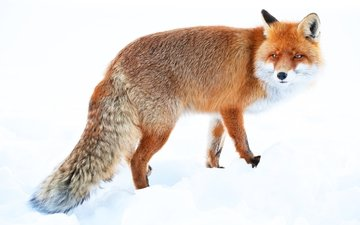 winter, red, fox, tail