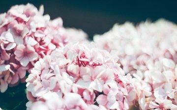 цветы, лепестки, размытость, розовые цветы, соцветия, гортензия