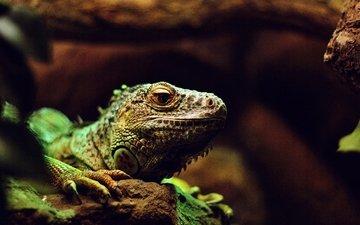 ящерица, рептилия, игуана