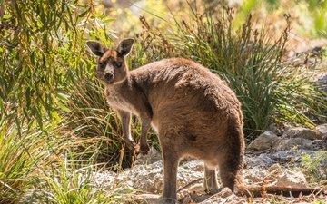 растения, взгляд, животное, кенгуру