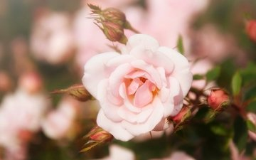 flowers, buds, rose, petals, blur
