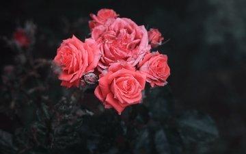 цветы, бутоны, розы, лепестки, черный фон, куст