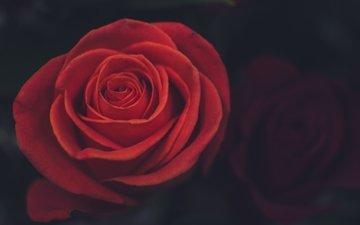 цветок, роза, лепестки, крупный план, красная роза
