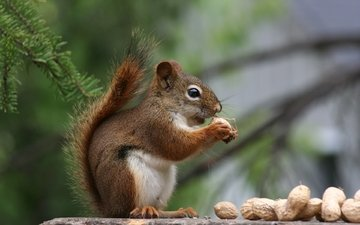 nuts, needles, profile, protein, tail, peanuts, squirrel