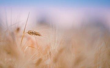 небо, растения, поле, размытость, колосья, пшеница, стебли
