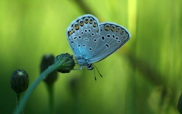butterfly, wings, insects, plant, stem, blue, alexander