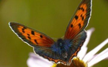 цветок, лепестки, бабочка, крылья, ромашка, насекомые, aaron m. coyle