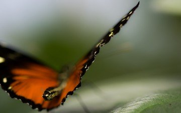 nature, macro, butterfly, wings, insects, blur
