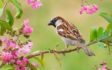flowers, branch, leaves, bird, spring, sparrow