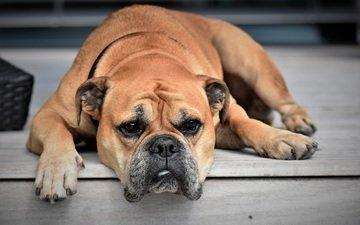 face, paws, look, dog, bulldog, dog.bulldog