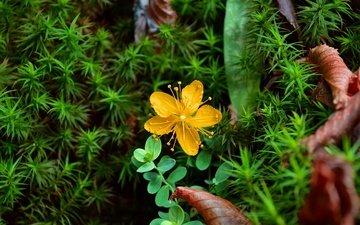 yellow, plants, flower, petals, st. john's wort, st. john's wort olympic