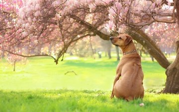 light, flowers, grass, trees, greens, park, branches, dog, garden, glade, spring, back, magnolia, azon