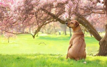 свет, цветы, трава, деревья, зелень, парк, ветки, собака, сад, поляна, весна, спина, магнолия, азон