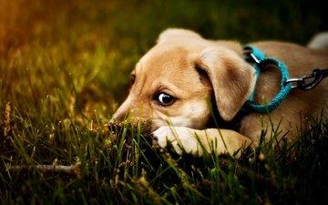 глаза, трава, ветка, природа, взгляд, собака, лежит, щенок, мордашка