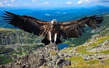 гриф, хищник, птица, iakov filimonov