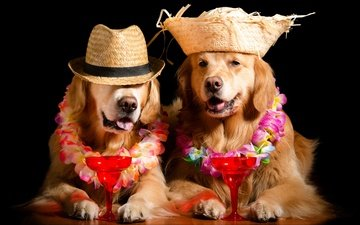 face, flowers, glass, black background, stay, cocktail, wreath, hat, garland, dogs, photoshoot, golden retriever, image