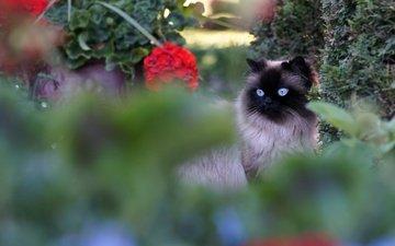 кот, мордочка, усы, кошка, взгляд, размытость, бирма