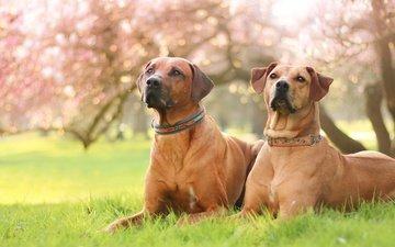 трава, природа, парк, весна, собаки, газон, магнолия, родезийский риджбек